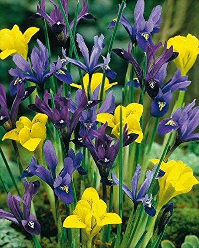 New Pack 15 Dwarf Iris 'Mixed Varieties' Spring Bulbs Value Pack WPC Prins