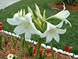 Crinum Lily, Powellii Album, medium-size bulb