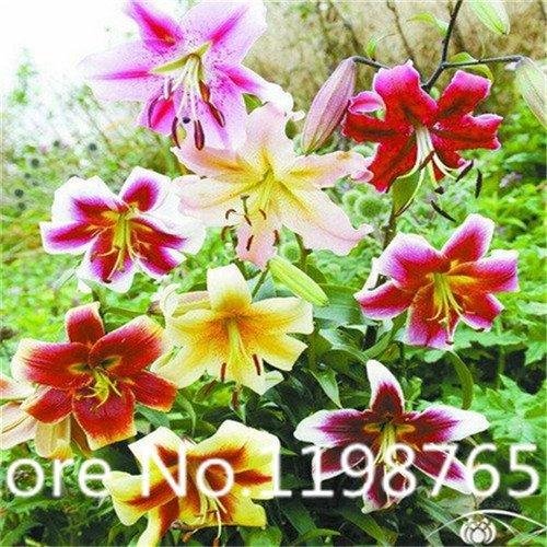 Daylily Plant (100pcs Lily Seeds Hemerocallis Desperado Seeds Hemerocallis Fulva Day-lily Flower Seeds Ground Cover Plant Seeds)