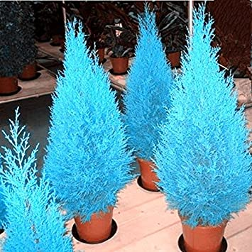 Platz 3 – Zypressen Platycladus orientalis (orientalische Thuja) 20 Samen