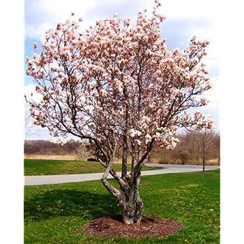 Amazoncom Saucer Magnolia Magnolia Soulangeana 2 Ft Tall Tree