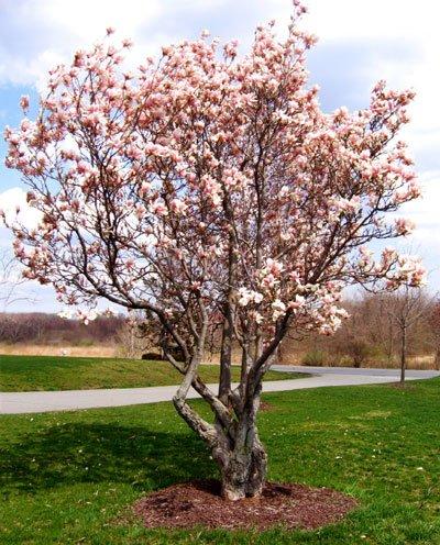 Amazoncom Jane Magnolia Tree Live Plant Garden Outdoor