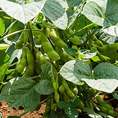BeSweet 2001 Edamame Bean Seeds - Non-GMO, Heirloom Be Sweet Soybean Seeds - Soy Vegetable Garden Seeds