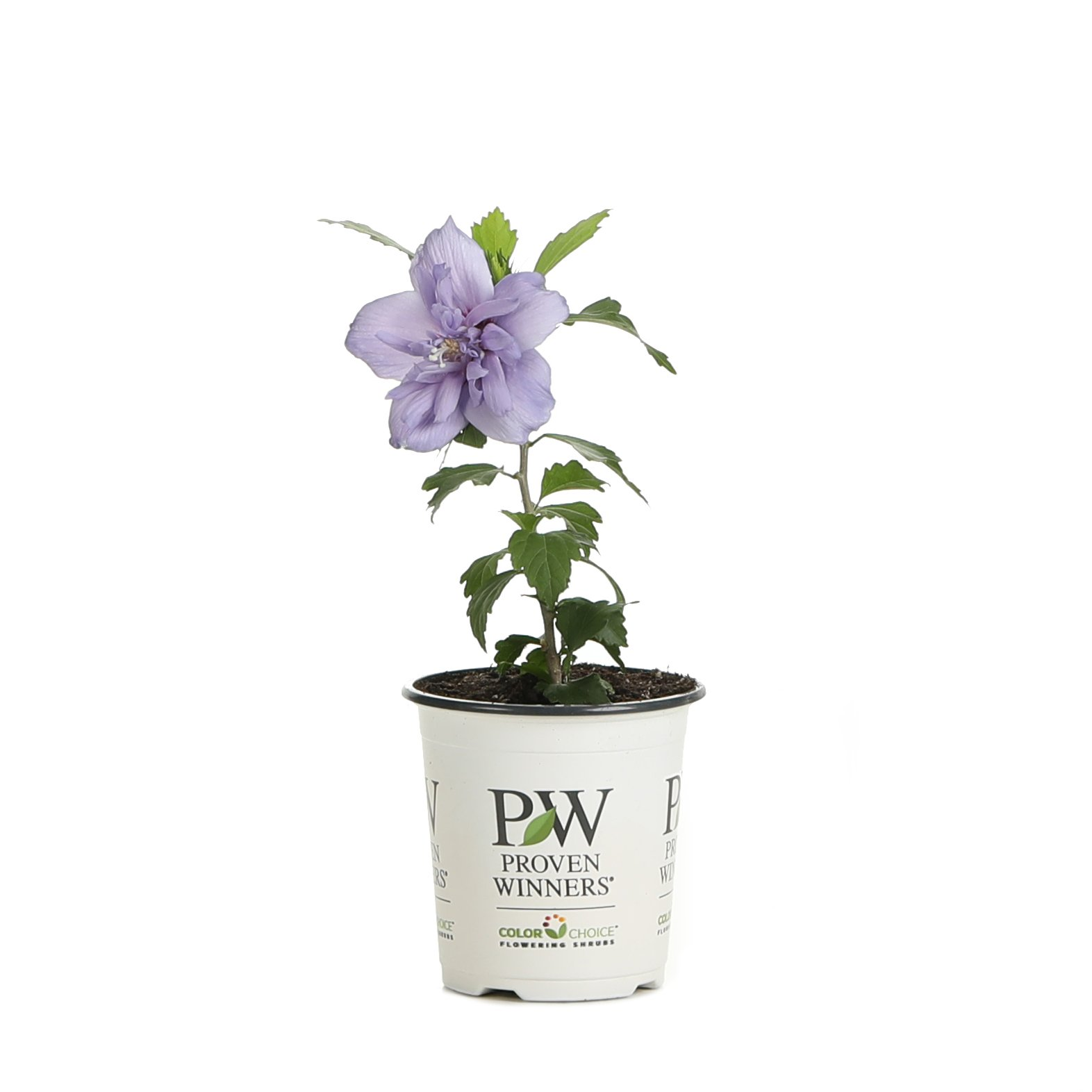 Blue Chiffon Rose of Sharon (Hibiscus) Live Shrub, Blue Flowers, 4.5 in. Quart by Proven Winners