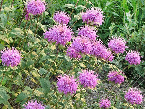 200+ ORGANICALLY GROWN Wild Bergamot Seeds Heirloom NON-GMO Monarda fistulosa var. menthifolia. Mintleaf Bee Balm Oswego Tea Fragrant Rare! US - Herb Bergamot