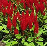 100 Seeds of Celosia plumosa - Plumed Cockscomb. Regal long lasting easy to grow flowers!