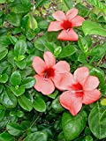 10 Seeds Barleria repens Small Bush Violet Ornamental Vine