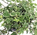 "Glacier English Ivy - Hedera - 4"" Pot - Easy to Grow, Indoors"