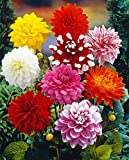 Van Zyverden Dahlias - Decorative Mixed - Set of 7 Bulbs