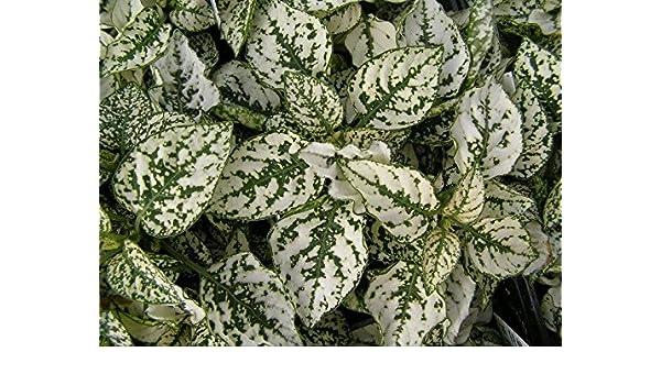 Amazon Com 25 Hypoestes Polka Dot Plant Splash White Flower