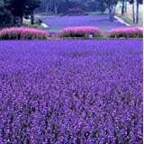 2000 PCS / bag french provence lavender seeds very fragrant organic lavender seeds plant flower Flower seeds