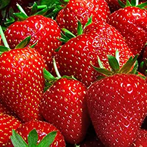 10 Quinault Strawberry Plants Organic Grown Bare Root Crowns Everbearing Fruit Non GMO | Easy To Grow Stargazer Perennials