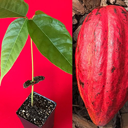 (New and Healthy Red Theobroma Cacao Cocoa Chocolate Tropical Fruit Tree Potted Plant)