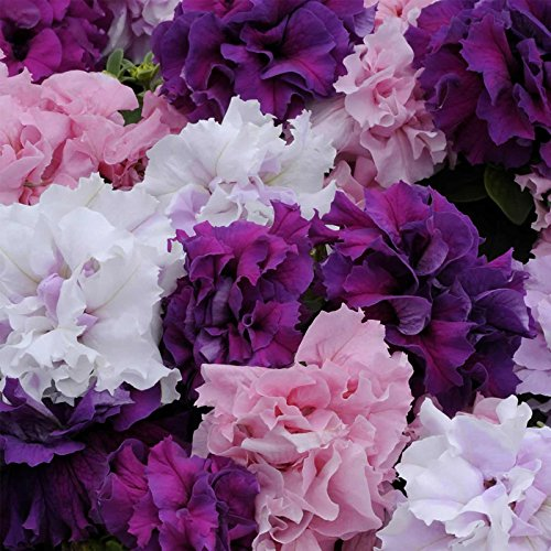 Petunia - Double Cascade Series Flower Garden Seed - 1000 Pelleted Seeds - Color Mix Blooms- Annual Flowers - Double Grandiflora Petunias ()