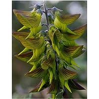 Shop Meeko cunninghamii - greenflower - Regalflower - 10 Seedsplant