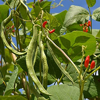 Scarlet Runner Pole Bean Seeds - Non-GMO, Heirloom - Vegetable Garden Seeds - Also Called: White Dutch Runner