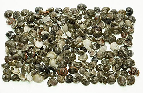 Shell Button Necklace (Quality Selected Seashells - Approx 600 pcs Common Button / Umbonium Vestiarium Top for Seashell Vases, Seashell Boxes, Seashell Frames, Seashell Jewelry Making & Mini Garden Miniature)
