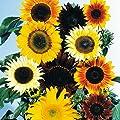 Sunflower Seed Mix 300 Dwarf Sunflower Seeds