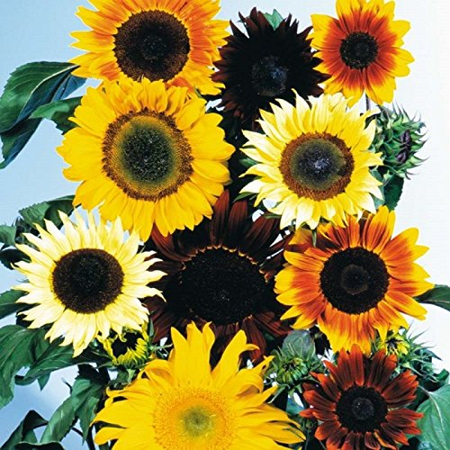 Sunflower Seed Mix 300 Dwarf Sunflower Seeds
