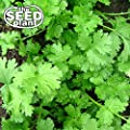 Cilantro (Coriander) Seeds - 300 Seeds