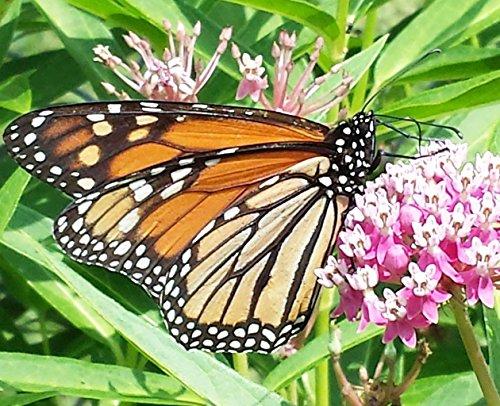 (100 Swamp Milkweed Seeds Pink Purple Flower Monarch Butterfly Host Plant)