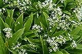 Ramsons, Wild Garlic seeds - Allium ursinum L.