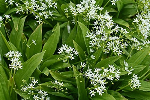 Ramsons, Wild Garlic seeds - Allium ursinum L.