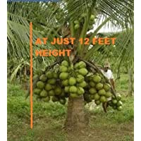 Advancedestore Qualitative Hybrid Live Plant Kerala Coconut Tree Plant