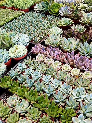 Fat Plants San Diego Mini Rosette Succulent Plants in Growers Pots by Fat Plants San Diego (Image #1)