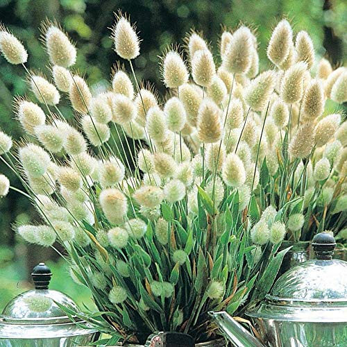 Portal Cool Ornamental Grass Seeds - Bunny Tails - Drought Tolerant -Easy to Grow - 20 Seeds