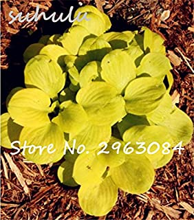 Amazon 100 pcsbag hosta plants seeds perennial plantain lily 100 pcsbag hosta plants seeds perennial plantain lily flower ground cover flower seeds mightylinksfo