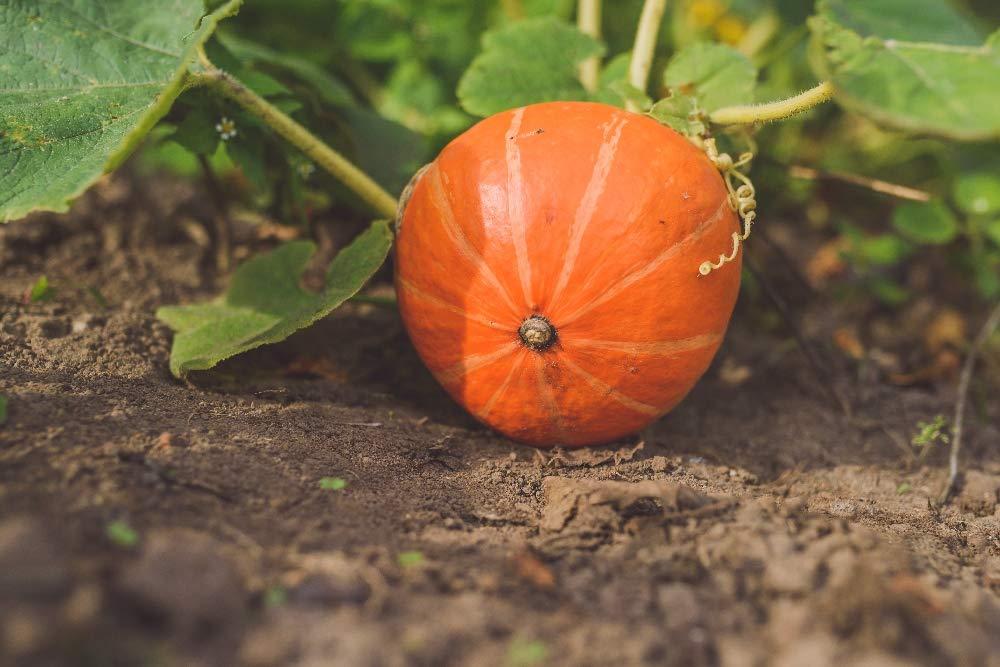SAFLAX - Ecológico - Calabaza - Hokkaido - 5 semillas ...