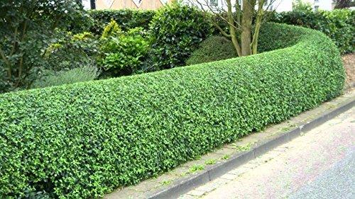 50 Live Privet Shrubs (1ft+) For Hedges (50ct) for 50ft Hedge by buhler_sells