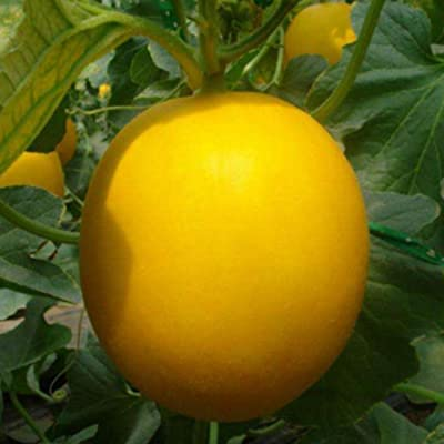 HOTUEEN 20Pcs Soft Round Sweet Yellow Skin White Meat Fruit Garden Seeds Fruits : Garden & Outdoor