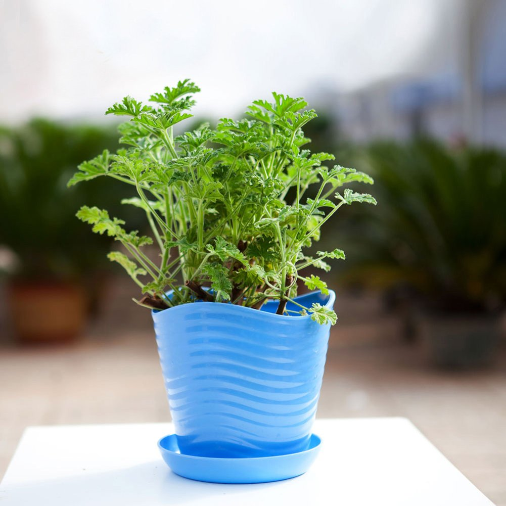 WuWxiuzhzhuo - Semillas de citronela, repelente para mosquitos, 100 unidades, decoración para jardín: Amazon.es: Hogar