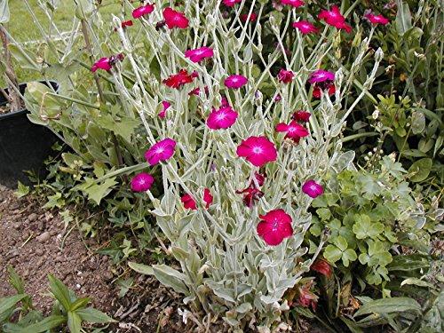 rose campion, SUN PERENNIAL, pink flower, 450 SEEDS! GroCo (Best Perennials For Sun)