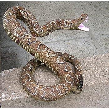 Striking Rattle Snake