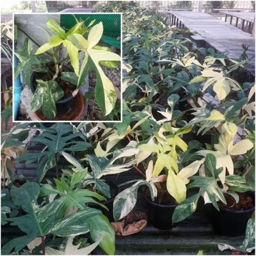 Philo Florida beauty alba Variegated Plant Root Plant Philodendron Houseplants -