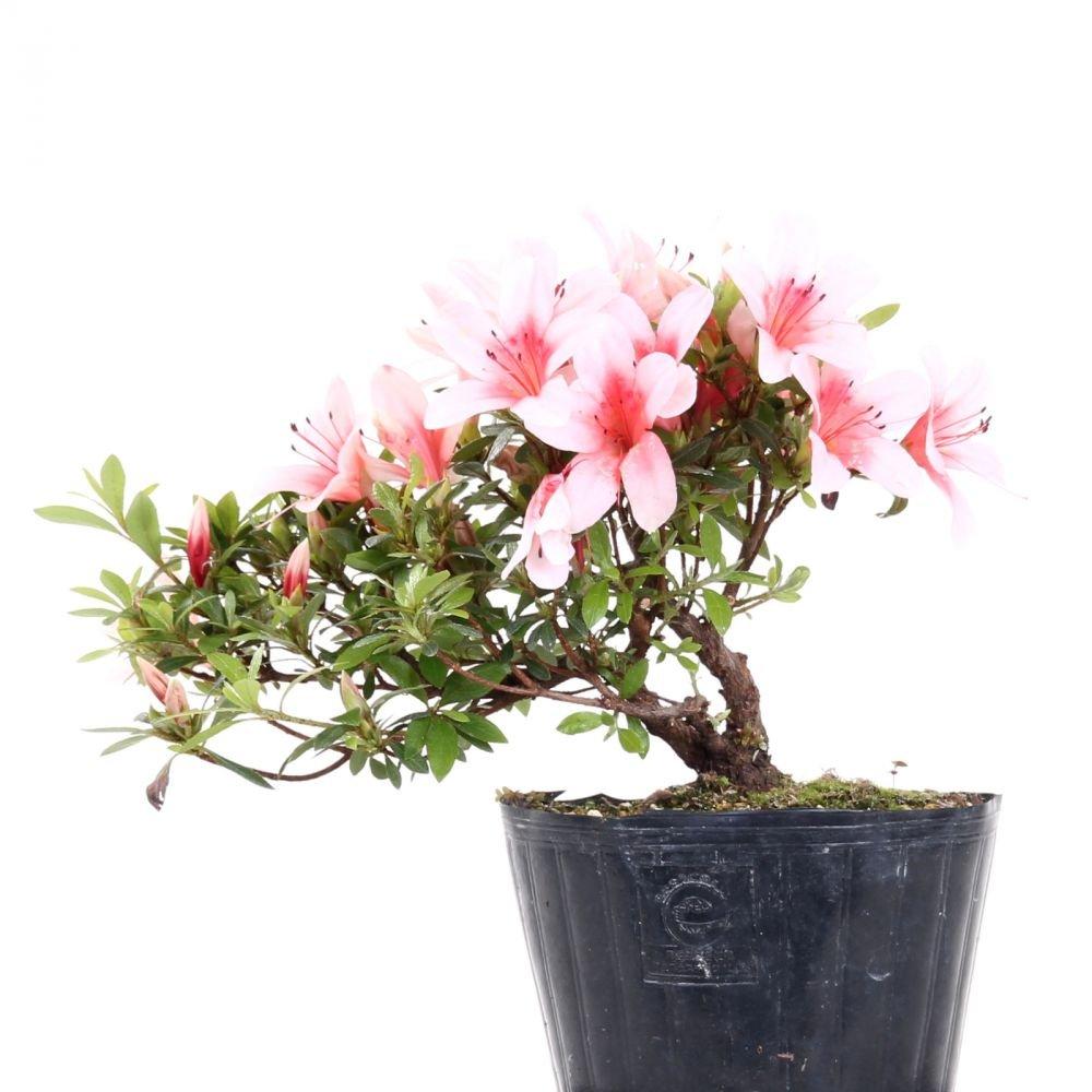 Bonsai - Jap. Satsuki Azalee 'Hi-no-Maru', Rhododendron indicum 183/62