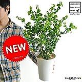 LAND PLANTS 【観葉植物】 ベンジャミン・バロック (5号サイズ)