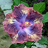 shade perennials zone 7 10+ Dinnerplate Hibiscus/ Brazen Steed/ Perennial Flower Seed/ Easy to Grow/ Huge 10-12 Inch Flowers