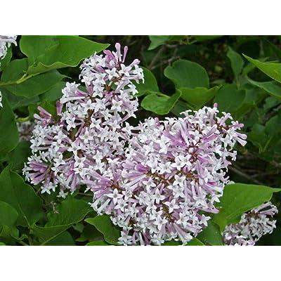 Lilac Miss Kim Manchurian Shrub Flowering Established - 1 Plant in 2 Gallon Pot : Garden & Outdoor