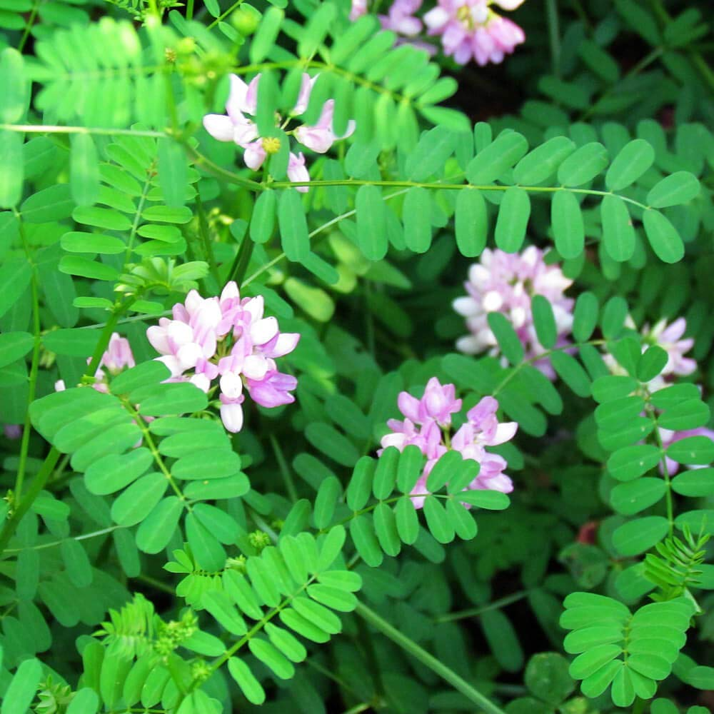 Outsidepride Crown Vetch Legume, Erosion Control, Forage Seed - 2 LBS by Outsidepride