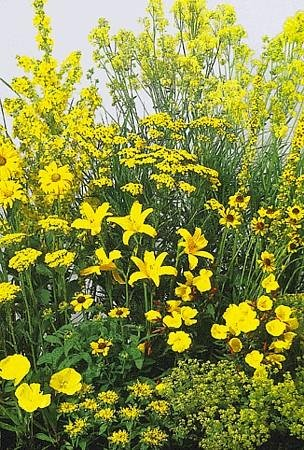 Amazon yellow perennial garden 50 seedsseed tall yellow perennial garden 50 seedsseed tall mightylinksfo