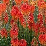 lichtnelke - Fackellilie ( Kniphofia uvara FIRE GLOW )