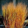 Dacotah Switch Grass- 200 Seeds