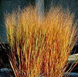 Dacotah Switch Grass- 250 seeds