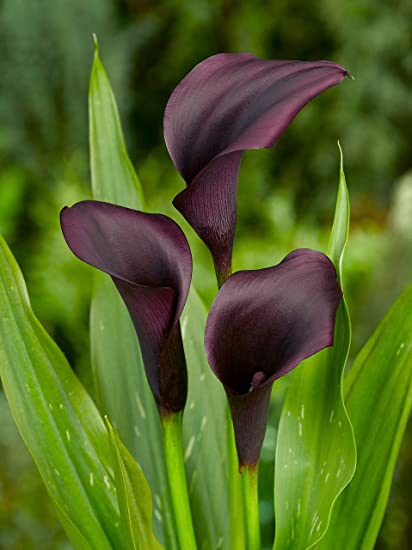 amazon com breathtaking spectacular black calla lily odessa bulb