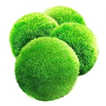 4 LUFFY Marimo Moss Balls - Aesthetically Beautiful & Create Healthy Environment - Eco-Friendly, Low Maintenance & Curbs Algae Growth - Shrimps & Snails Love Them