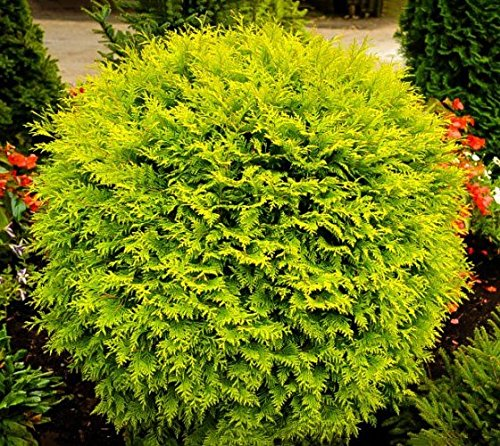 Golden Globe Dwarf Arborvitae (Thuja) - Live Plant - 3 Gallon Pot by New Life Nursery & Garden (Image #1)